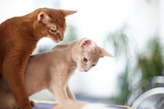 Dwa kotów czerwony bawić się Zdjęcie Royalty Free