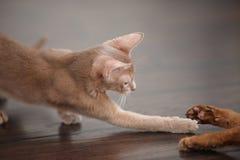 Dwa kotów czerwony bawić się Zdjęcia Stock