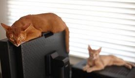 Dwa kotów czerwony bawić się Fotografia Stock