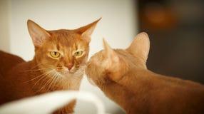 Dwa kotów czerwony pozować Zdjęcie Royalty Free