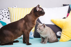 Dwa kotów, ojca i syna kota brązu, czekolada - brązowić figlarki z dużymi zielonymi oczami na drewnianej podłoga na ciemnym tła w Obraz Stock