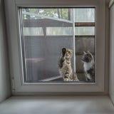 Dwa kotów Szkocki fałd, trójbarwny i siedzimy na zewnątrz okno Obraz Stock