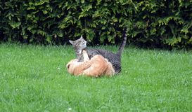 Dwa kotów walczyć Obraz Stock