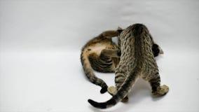 Dwa kota bawić się z each inny na białym tle, zwolnione tempo zbiory