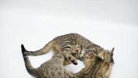 Dwa kota bawić się z each inny na białym tle, zwolnione tempo zdjęcie wideo