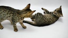 Dwa kota bawić się z each inny na białym tle, zwolnione tempo zbiory wideo