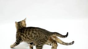 Dwa kota walczą each inny na białym tle, zwolnione tempo zbiory