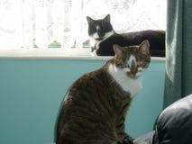 dwa koty Fotografia Royalty Free