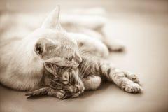 dwa koty zdjęcia royalty free