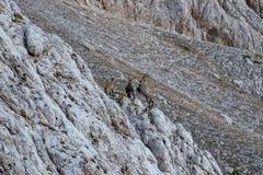 Dwa koziorożec bój w górach zdjęcie stock