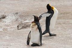 Dwa królewiątko pingwinu na plaży Zdjęcia Royalty Free