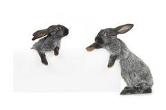 Dwa królik Zdjęcia Royalty Free