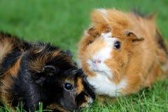dwa królik doświadczalny fotografia stock