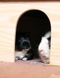 Dwa królika doświadczalnego w schronieniu Obrazy Royalty Free