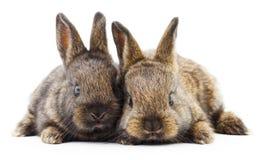 Dwa królika królika Zdjęcie Royalty Free