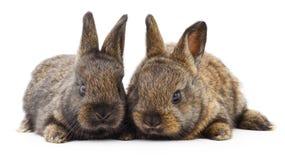Dwa królika królika Obraz Stock
