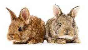 Dwa królika królika Fotografia Royalty Free