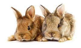 Dwa królika królika Zdjęcie Stock