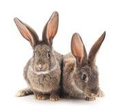 dwa króliki Zdjęcia Stock