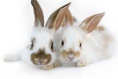 dwa króliki Zdjęcia Royalty Free