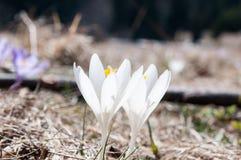 Dwa krokusów krokusa biały scepusiensis w Carpathians w południowym Polska fotografia stock
