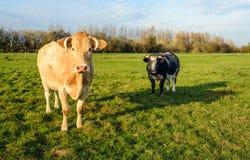 Dwa krowy ciekawie patrzeje fotografa Obraz Stock