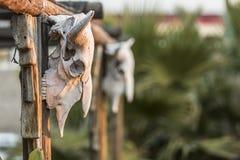Dwa krowy czaszki na ganeczku Obrazy Stock