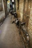 Dwa krowy i rower Fotografia Royalty Free