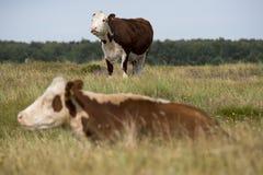 Dwa krowy na polu Obrazy Stock