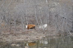 Dwa krowy pasa na wzgórzu Zdjęcia Royalty Free