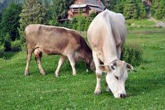 Dwa krowy pasają, wioska dom Fotografia Stock