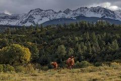 Dwa krowy pod górą Sneffels i San Juan górami w jesieni, Obraz Stock