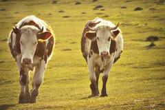 Dwa krowy w zmierzchu ?wietle zdjęcie stock