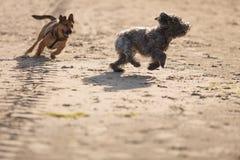 Dwa kundlowatego psa bawić się wpólnie na plaży Fotografia Stock