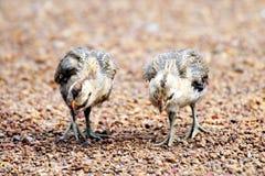 Dwa kurczątka chodzą na ziemi, kurczątko, kurczaka dziecko zdjęcie royalty free