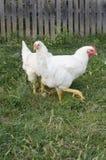 Dwa kurczak Zdjęcie Royalty Free