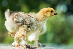 Dwa kurczak w trawie obrazy royalty free