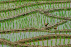 Dwa kurczaka stoi na ziemi zdjęcia royalty free