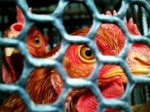 dwa kurczaki Zdjęcie Royalty Free