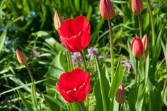 Dwa kwitnie pączek tulipan w ogródzie Zdjęcia Stock