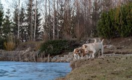 Dwa labradorów jaskrawy żółty aporter i jeden beagle zdjęcia royalty free