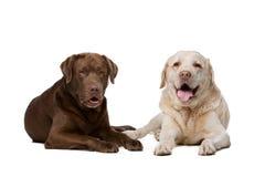 Dwa labradora psa Zdjęcia Royalty Free