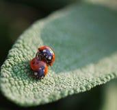 Dwa ladybird Obrazy Royalty Free