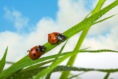 dwa ladybird Zdjęcia Royalty Free