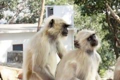 Dwa Langur przy Shri Nathji świątynią Zdjęcia Royalty Free
