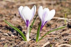 Dwa lekki - fio?kowa ?nie?yczki wiosna kwitnie zbli?enie widok obraz royalty free