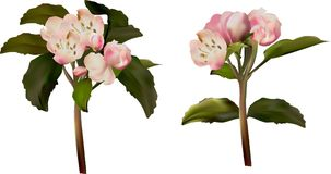 Dwa lekkiego jabłka okwitnięcia na bielu Obrazy Stock