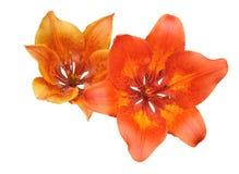 Dwa leluj kwiat Obrazy Royalty Free