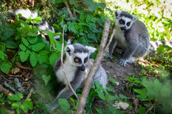 Dwa lemurów bieg w trawie Zdjęcie Royalty Free