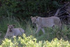 Dwa lew w Południowa Afryka obrazy royalty free